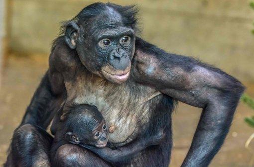 Das Bonobo-Baby ist ein Junge