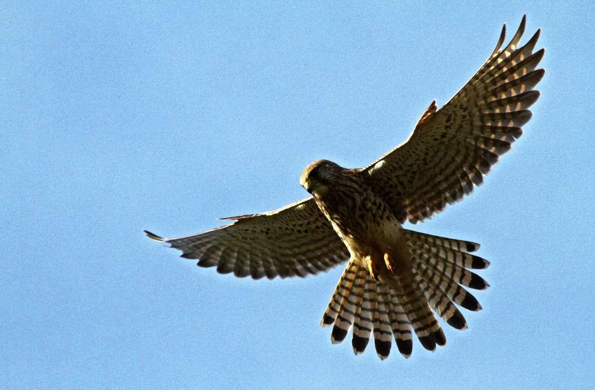 Nur sehr selten schafft es ein Turmfalke, kleinere Vögel zu fangen. Foto: Michael Eick