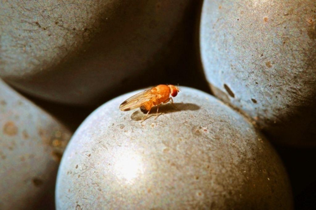 Macht Weintrauben ungenießbar: die Kirschessigfliege Foto: dpa