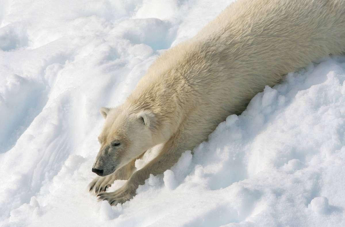 Bis zu 3600 Eisbären leben laut norwegischem Polarinstitut in Spitzbergen. Foto: imago images/blickwinkel/AGAMI/M. Guyt