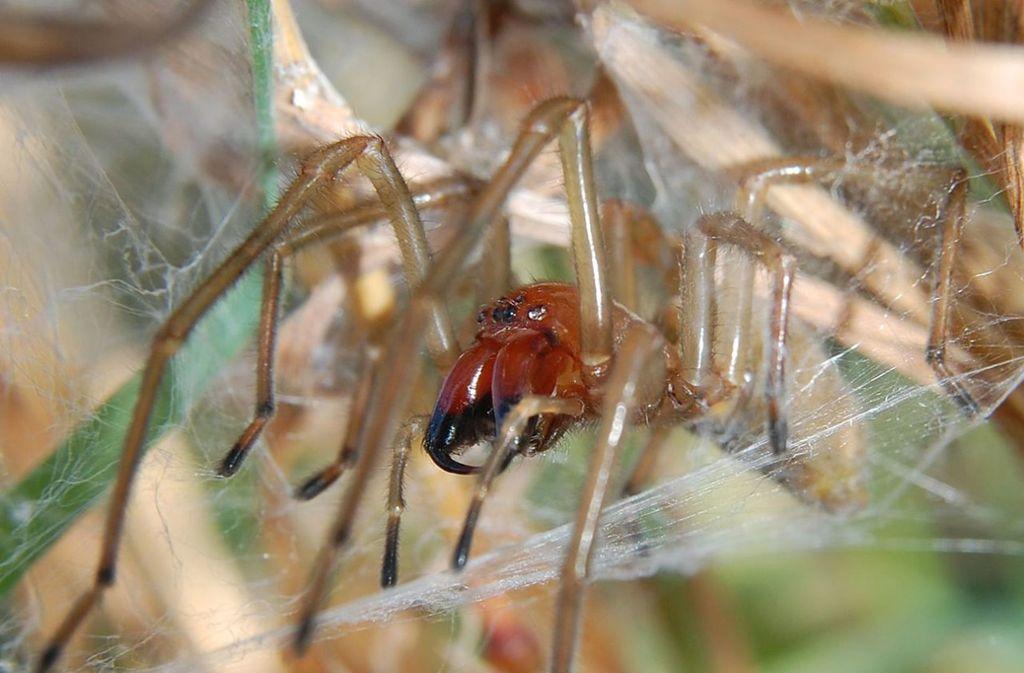 Die Ammen-Dornfingerspinne gilt als einzige Spinnenart Mitteleuropas, die dem Menschen schmerzhafte  Vergiftungen zufügen kann. Foto: Wikipedia commons/Rainer Altenkamp/CC BY-SA 3.0
