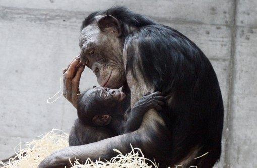 Ein Bonobo-Weibchen aus der Wilhelma hält ihr Junges im Arm. Foto: dpa
