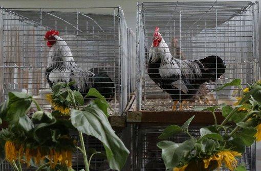 Die Tiere bleiben im Stall, Lokalschauen sind erlaubt
