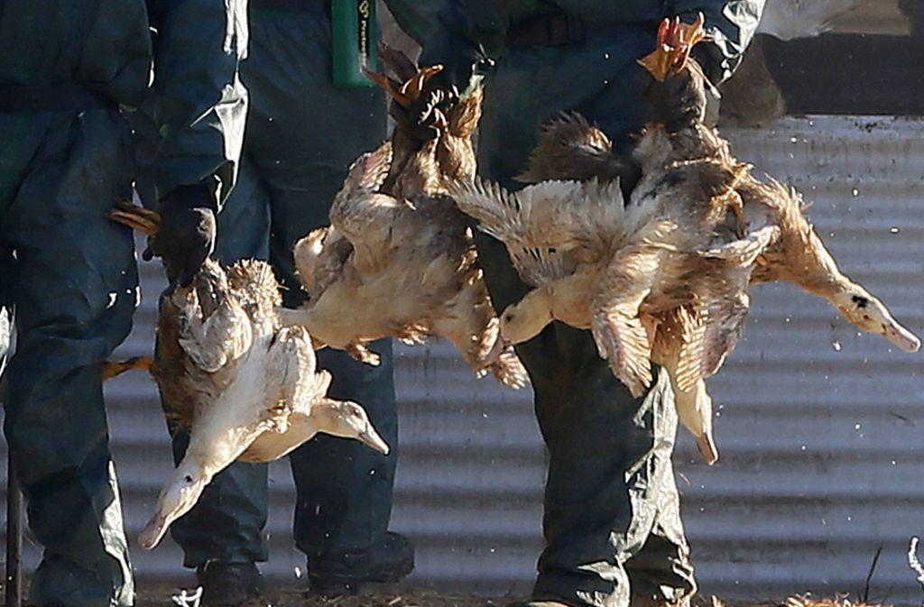 Insgesamt 600.000 Enten müssen wegen der anhaltenden Vogelgrippe in Frankreich getötet werden. Foto: AP