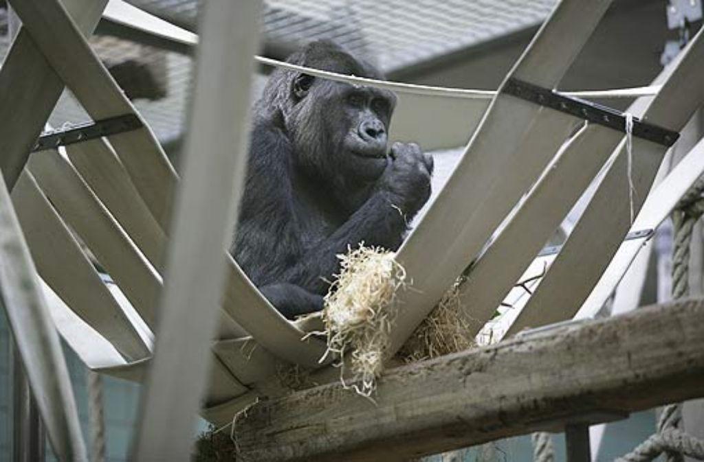 Die Gorillas in der Wilhelma werden erst im April 2012 in ihr neues Affenhaus einziehen können. Foto: Steinert