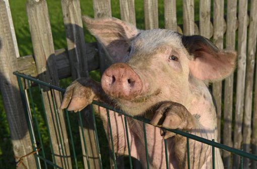 Neugieriges Schwein jagt Reporter