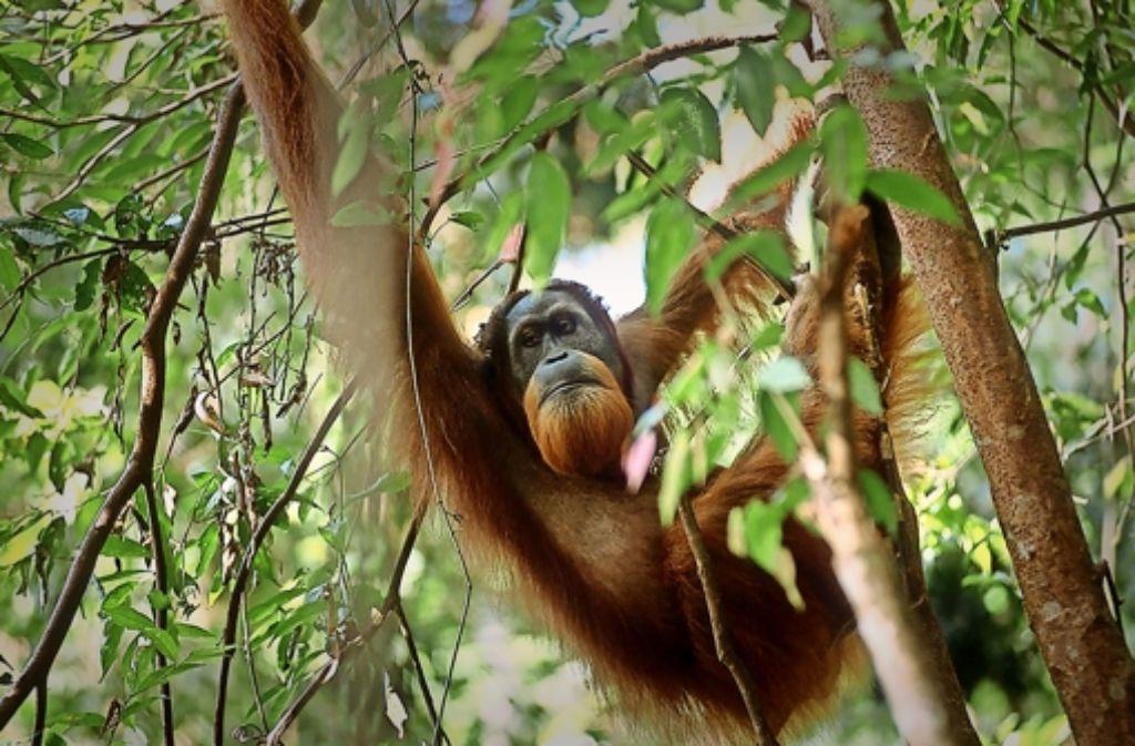 Auch wenn es mehr sind als gedacht: Orang Utans sind stark gefährdet. Foto: Serge Wich