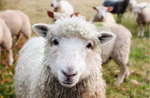 Mehrere Schafe getötet – Köpfe und Innereien zurückgelassen