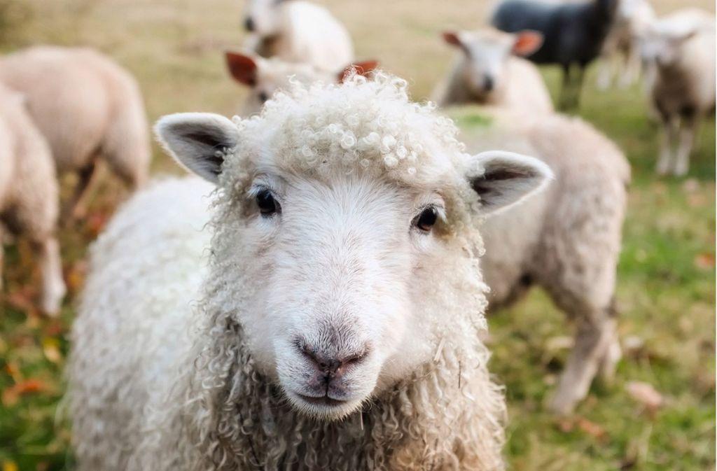 Mehrere Schafe sind in Bad Rappenau getötet worden. (Symbolbild) Foto: Pixabay/David Mark