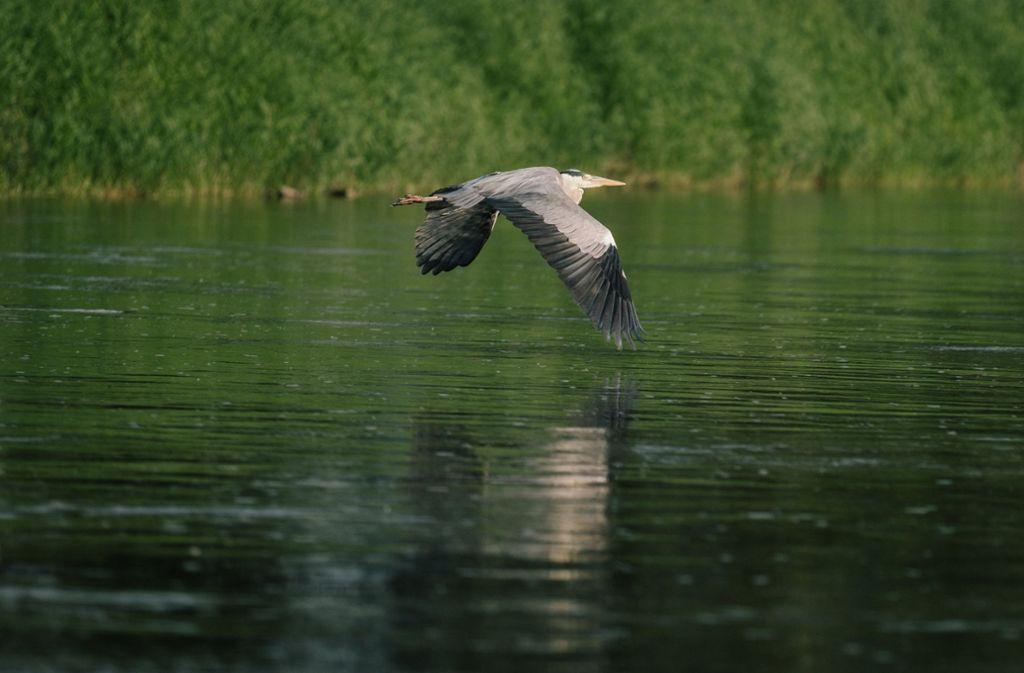 Bei Reutlingen hat ein Unbekannter auf einen Fischreiher geschossen. Das Tier starb. (Symbolbild) Foto: dpa
