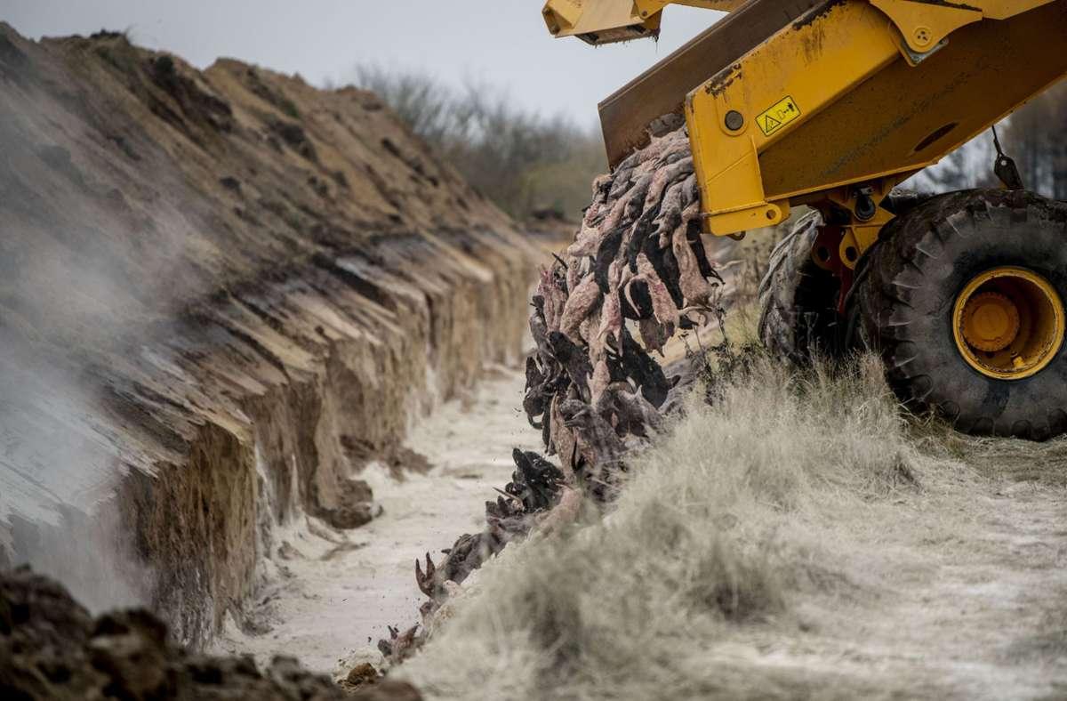 Die Nerze waren zu Millionen getötet und  vergraben worden. (Archivbild) Foto: dpa/Morten Stricker