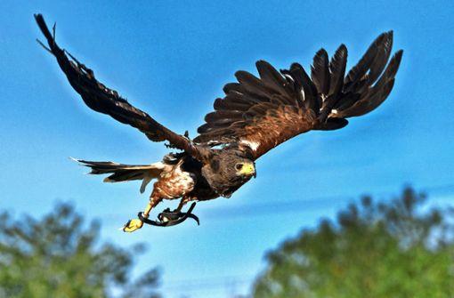 Die Falkenflüsterin