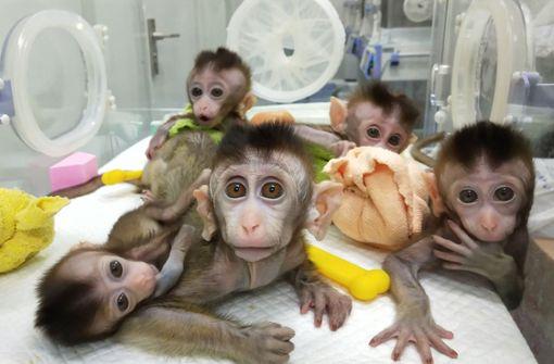 Chinesische Forscher setzen menschliches Gen in Affenhirn