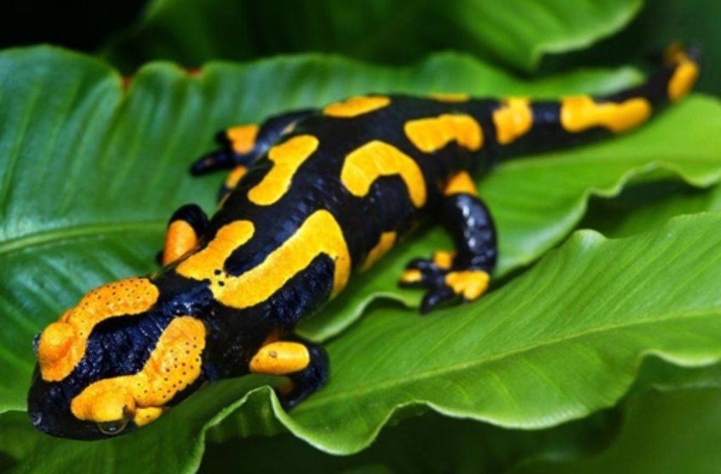 Unverkennbar: der Feuersalamander ist gelb-schwarz gefärbt. Foto: dpa