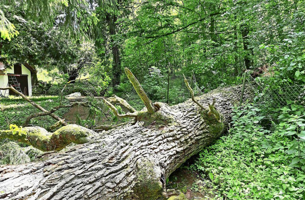 Der Baum fiel auf das Gelände der Kleintierzüchter. Foto: z