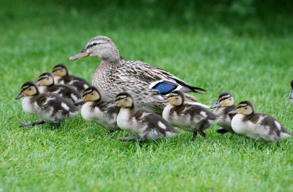 Die Polizei setzt die Entenfamilie nach der Rettung wieder aus (Symbolbild). Foto: dpa/dpaweb