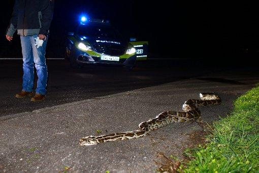Riesiger Python an B29 entdeckt