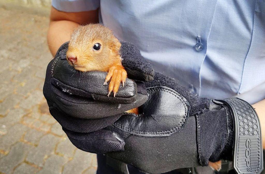 Mit einem Klettereinsatz im Baum haben Freiwillige Feuerwehrleute aus Rheinstetten bei Karlsruhe ein kleines Eichhörnchen gerettet. Foto: Polizei Bonn