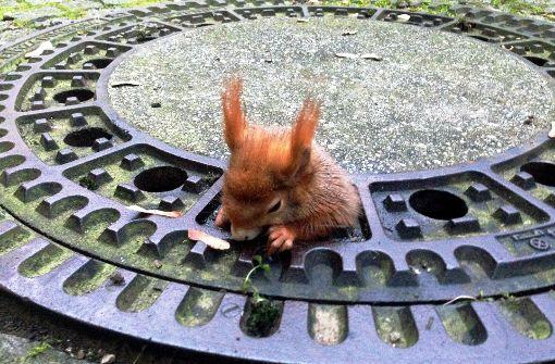 Eichhörnchen steckt in Gullydeckel fest