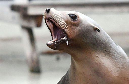 Seelöwe erschreckt Urlauber am Strand