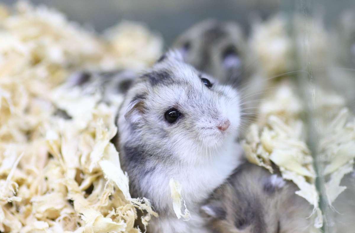 Hamster sind kleine, aktive Tiere, die beschäftigt werden wollen. Foto: imago images/Imaginechina-Tuchong