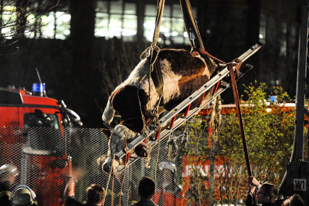 Ein entlaufener Stier hatte sich am Montagabend in Sindelfingen auf den Bahngleisen breit gemacht, der Tierarzt musste anrücken und den Stier betäuben. Dann konnte das Tier wieder zurück zu seinem Bauernhof gebracht werden. Foto: www.7aktuell.de | Ingo Reimer