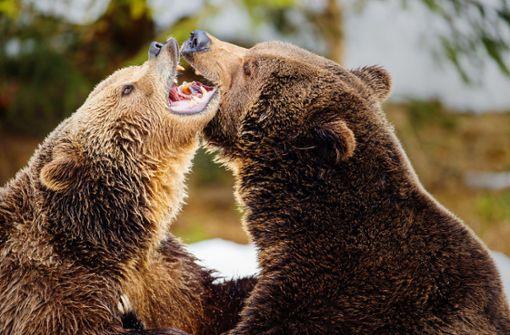 Wo sich Braunbären wohlfühlen könnten