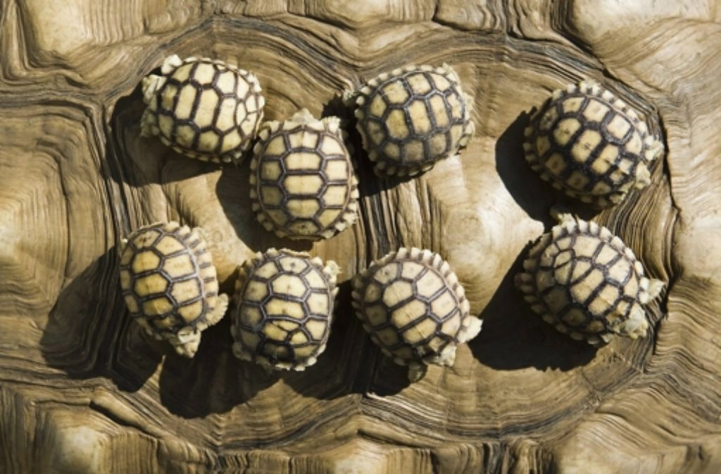 Süßer  noch als voll süß: Babyschildkröten!!! Foto: MTI
