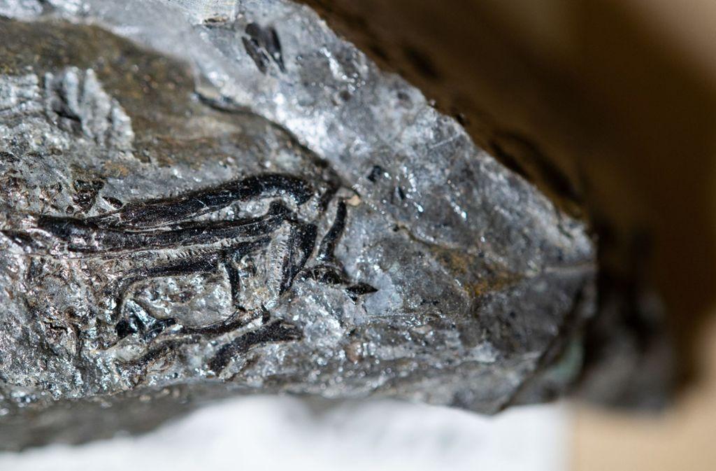 Das Fossil des Zwergsauriers liegt im Stuttgarter Naturkundemuseum. Foto: dpa/Sebastian Gollnow