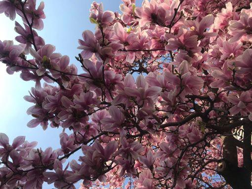 Der Frühling lässt die Magnolien im Kessel aufblühen, wir verraten euch wo.