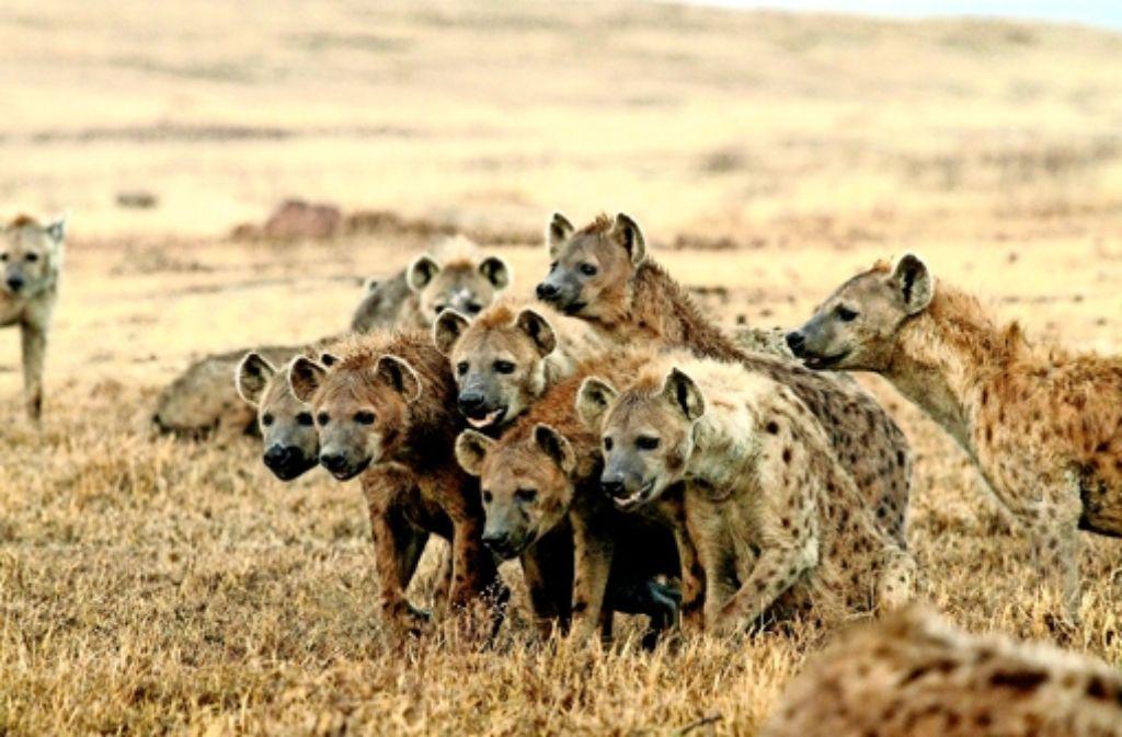 Hyänen verlassen ungern ihre Familie. Das gilt vor allem für die Weibchen, aber auch für die Männchen. Foto: Oliver Höner