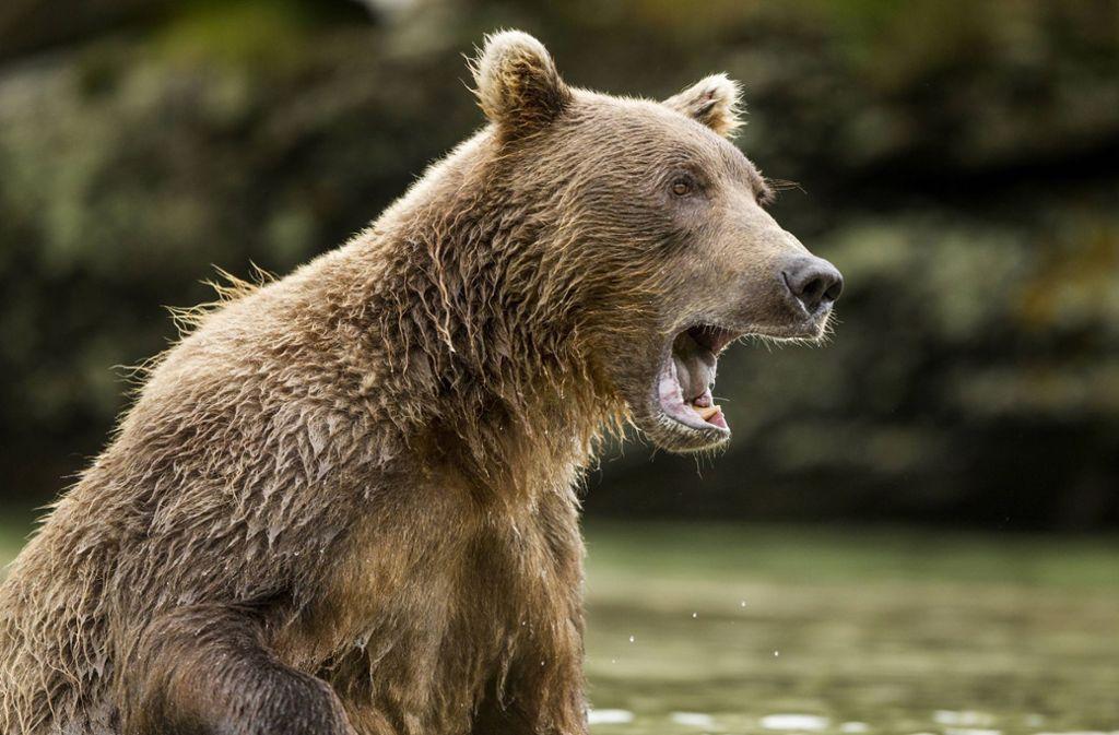 Ein wilder Braunbär hat in Russland einen Fußgänger angegriffen, ihn dabei aber nur leicht verletzt. (Symbolfoto) Foto: imago images