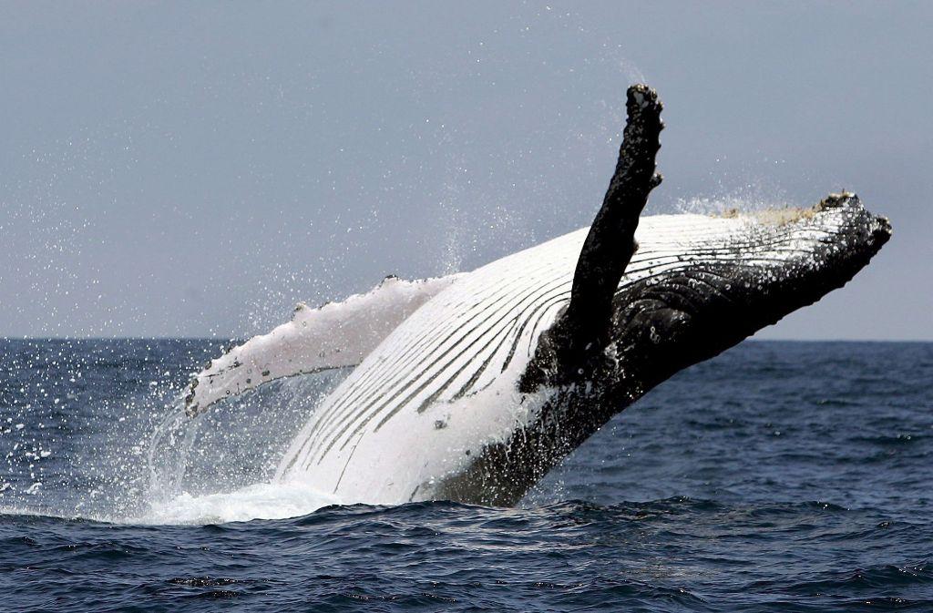 Ein Buckelwal hat ein Touristenboot gerammt (Symbolfoto). Foto: dpa