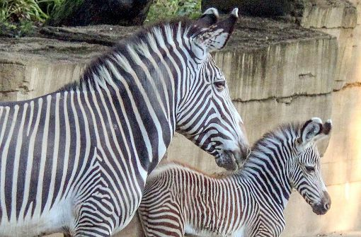 Zwei Zebra-Fohlen geboren