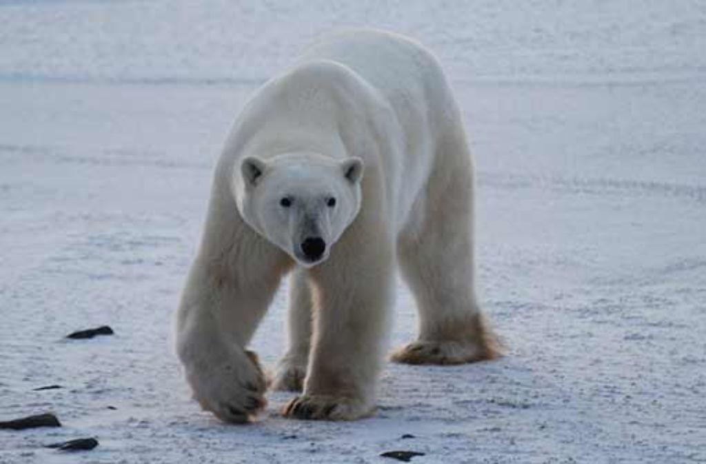 Der Eisbär gilt als Symbol für den Klimawandel. Doch nicht nur sein Lebensraum verändert sich. Wie sich das Klima in bestimmten Regionen entwickeln wird soll mit Hilfe des Deutschen Klimaatlasses und des Regionalen Klimaatlasses online veranschaulicht werden. Foto: Braune