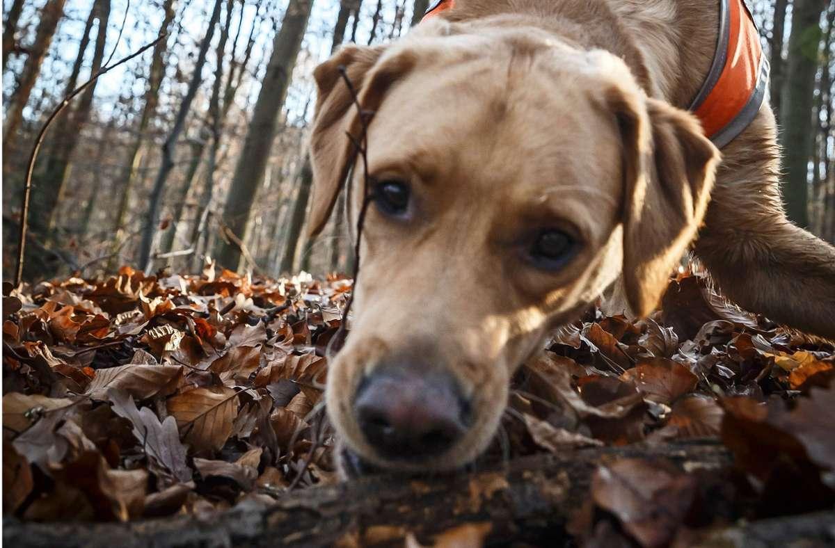 Nagen, toben, schnuppern: Im Wald fühlen sich alle Hunde pudelwohl. Foto: Lichtgut/Julian Rettig