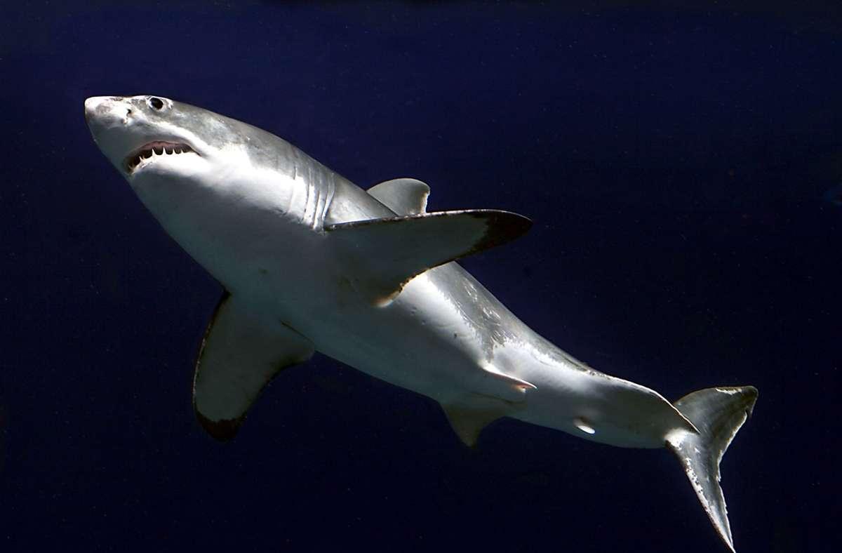 Haie, die einen solchen Peilsender tragen, lösen einen Alarm aus, wenn sie in die Reichweite von bestimmten Empfänger-Geräten schwimmen (Symbolbild). Foto: picture alliance / dpa-Bildfunk/Randy Wilder