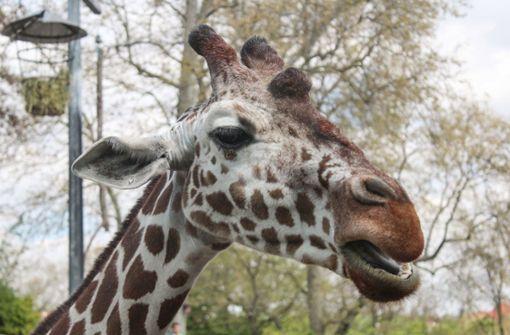 Giraffe Kiburi stirbt im Alter von 15 Jahren