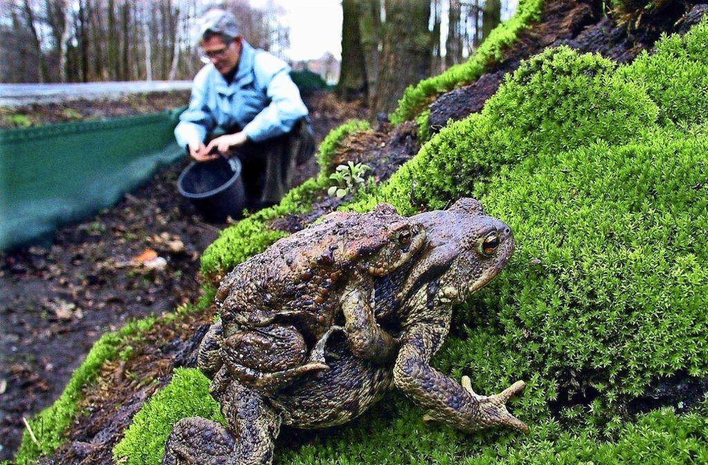 Viele Helfer bewahren die Kröten davor, überfahren zu werden. Foto: Archiv