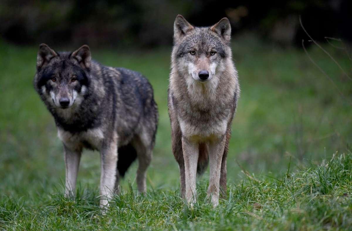 Zwei Wölfe laufen im Wildpark Eekholt in Großenaspe (Schleswig-Holstein) durch ihr Gehege. Foto: Carsten Rehder/dpa