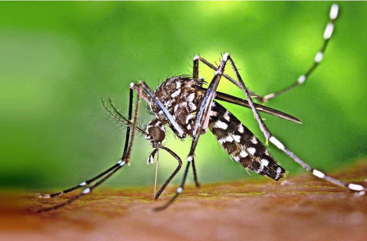 Die Asiatische Tigermücke, hier ein weibliches Exemplar, ist mittlerweile auf der ganzen Welt heimisch. Foto: dpa/James Gathany