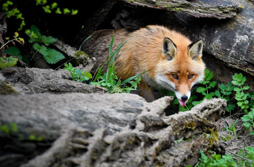 Ein DNA-Test hat bestätigt: In Korb hat ein Fuchs einen Camper angegriffen und verletzt. Foto: dpa