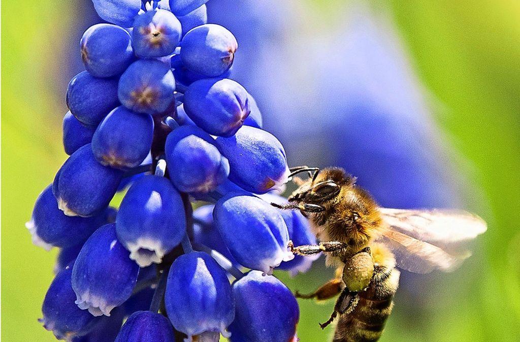 Eine Biene lässt es sich in einer Traubenhyazinthe gut gehen. Foto: dpa
