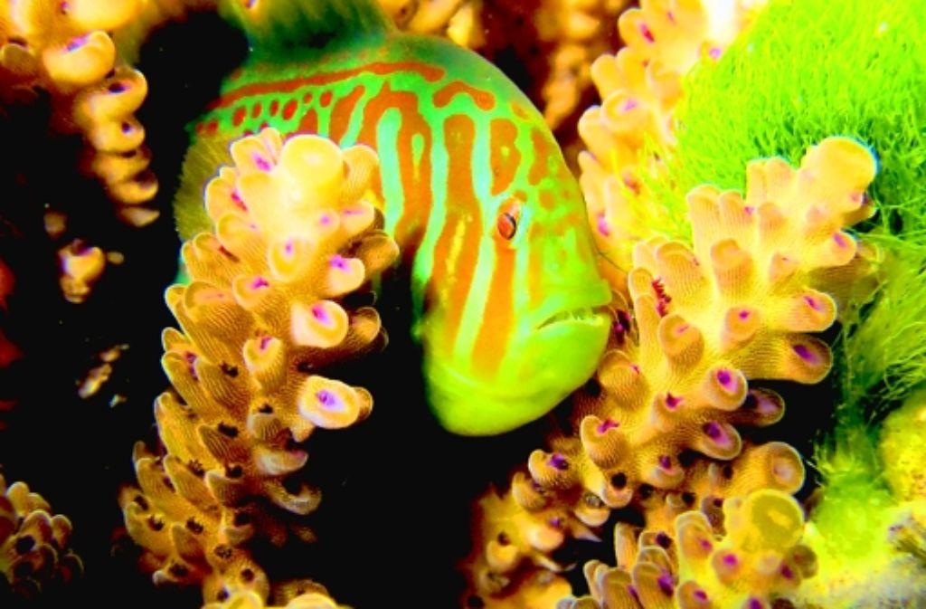 Ein chemischer Hilferuf alarmiert die Blaupunkt-Korallengrundel, wenn die giftige, grüne Haaralge sich anschickt, die Korallen zu überwuchern. Foto: D. Dixson/Science