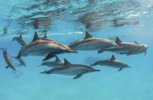Gruppe mit 1000 Tieren vor der Küste Kaliforniens gesichtet