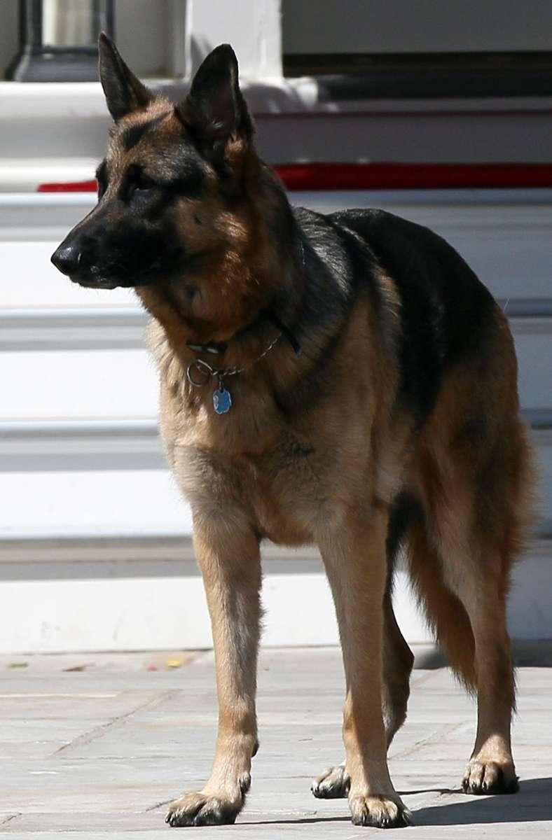 Champ ist schon ein Hunde-Opa – er lebt seit 2008 bei den Bidens und schnupperte schon während acht Jahren Obama/Biden-Administration Washingtoner Luft. Foto: AFP