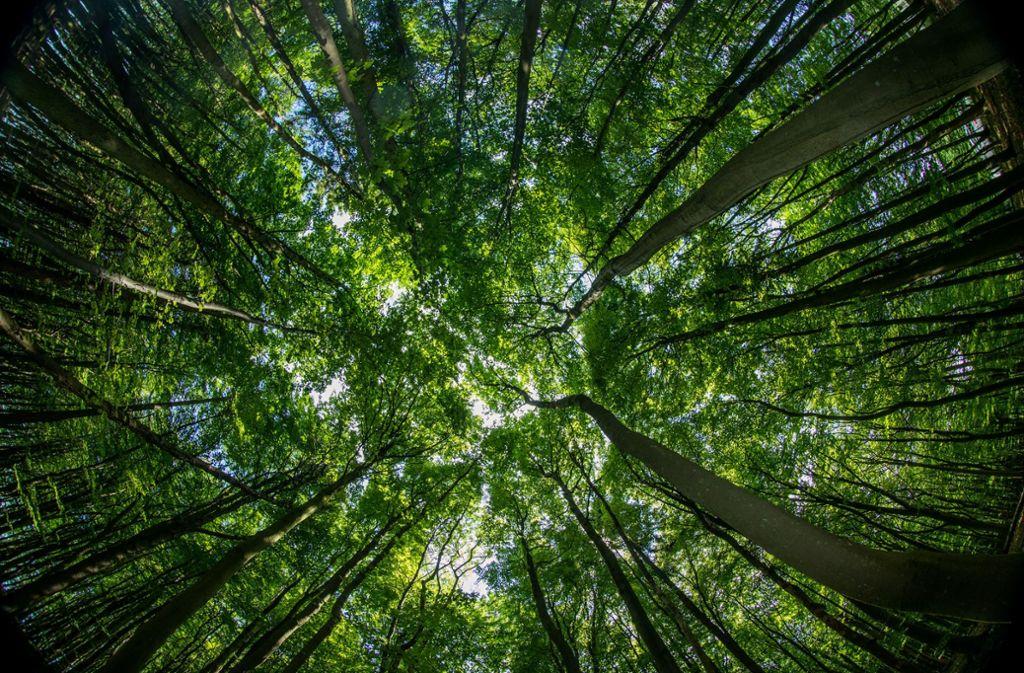 Ein Buchenwald auf der Insel Rügen. Der Klimawandel kann durch nichts so effektiv bekämpft werden wie durch Aufforstung – dieses im Sommer veröffentlichte Studienergebnis stößt auf Kritik anderer Forscher. Das Potenzial von Baumpflanzungen zur Eindämmung des Klimawandels sei in der Studie dramatisch überbewertet, Foto: Jens Büttner/zb/dpa