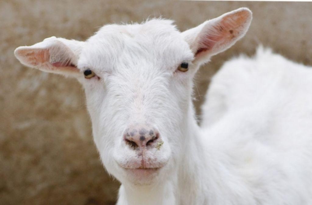 Schafe und Ziegen gelten als Überträger des Q-Fiebers. Foto: dpa