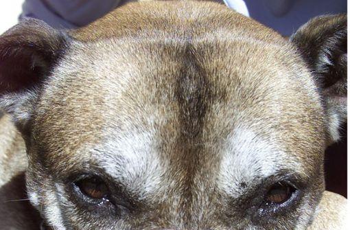 Zwei Kampfhunde verletzen 15-Jährigen schwer