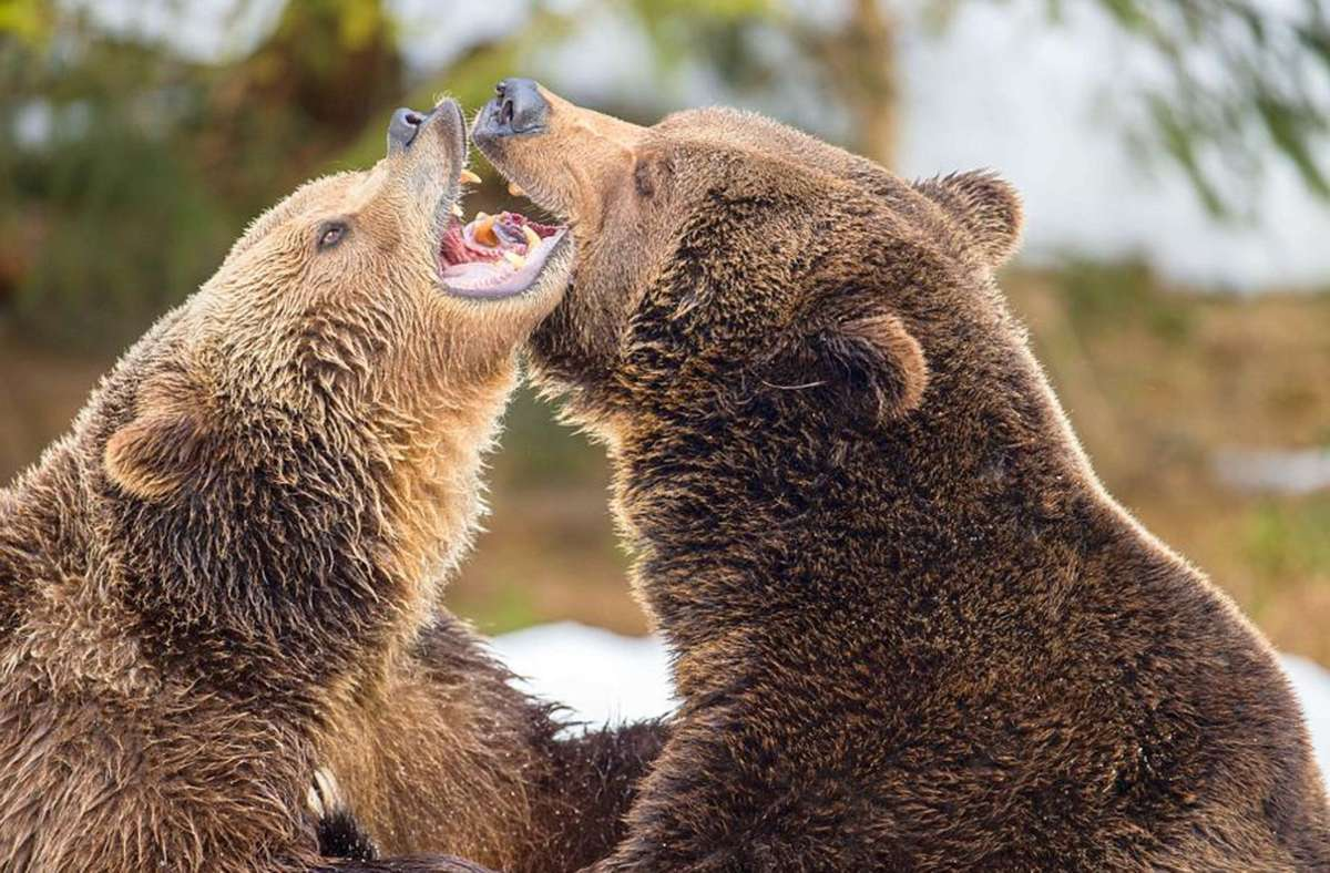 Bären sorgen in Stuttgart für Gesprächsstoff: Hat man vor  90 Jahren in einem Stuttgarter Restaurant Bärenschinken mit fatalen Folgen verspeist? Foto: dpa